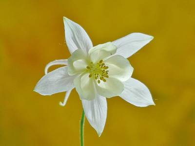 Photograph - White Columbine Flower On Yellow by Barbara St Jean