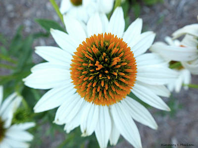 Photograph - White Cone Flower by Kimmary MacLean