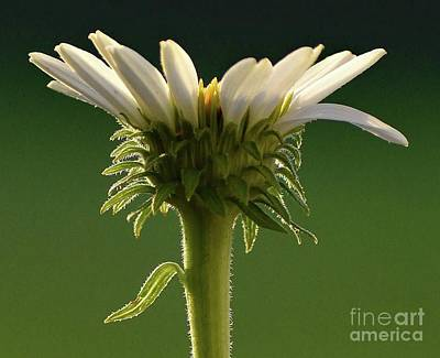 The Beatles - White Coneflower Macro by Cindy Treger