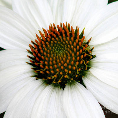 Photograph - White Coneflower Square Close-up by Karen Adams