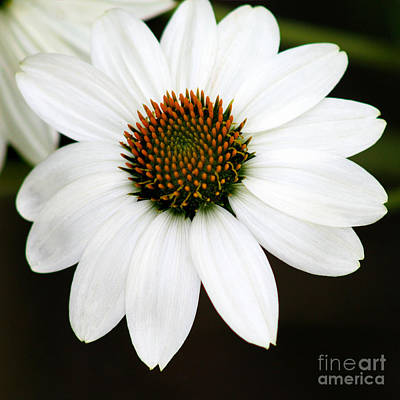 Photograph - White Coneflower Square by Karen Adams