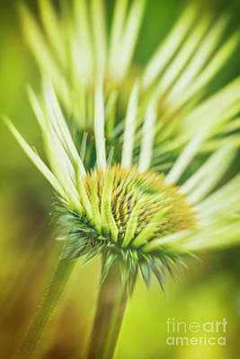 Abstracted Coneflowers Photograph - White Coneflower by Veikko Suikkanen