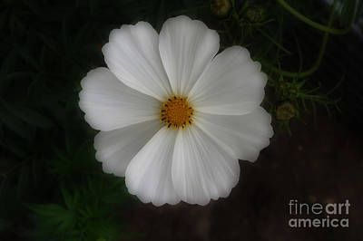 Photograph - White Cosmo Flower by Kay Novy