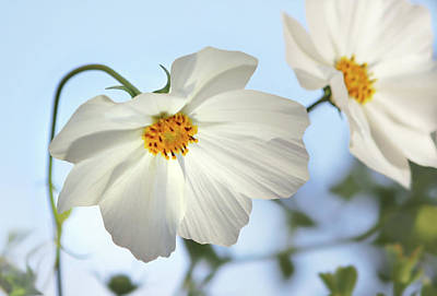 Photograph - White Cosmos-1 by Nina Bradica