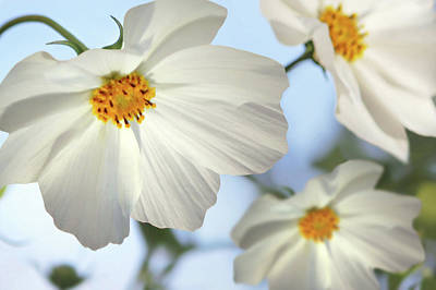 Photograph - White Cosmos-2 by Nina Bradica