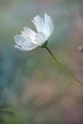 Photograph - White Cosmos by Ann Bridges