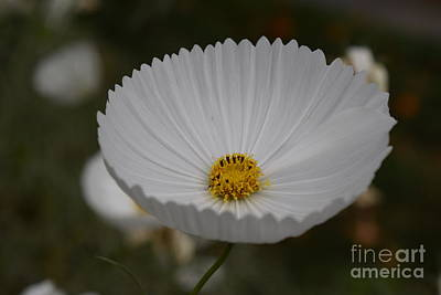 Photograph - White Cosmos Cupcake by Jeannie Rhode