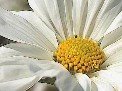 Photograph - White Cosmos Dream  by Carol Groenen