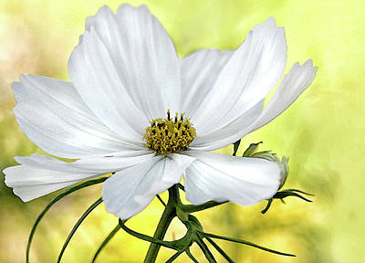 Photograph - White Cosmos Floral by Jacqi Elmslie