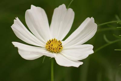 White Cosmos Flower Original
