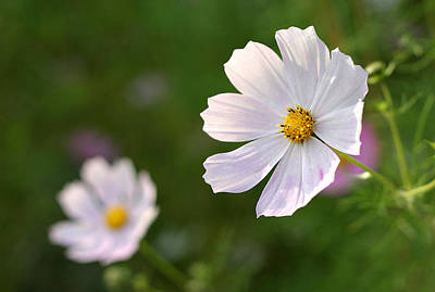 Anchor Down - White cosmos flower by Pierre Leclerc Photography