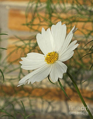 Photograph - White Cosmos  by Lizi Beard-Ward