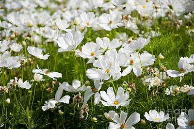 Cosmea Photograph - White Cosmos Plants Blooming by Arletta Cwalina