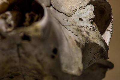 Photograph - White Cow Skull Detail by Chris Bordeleau