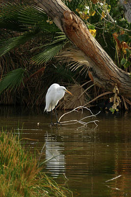 Photograph - White Crane by Laurel Powell