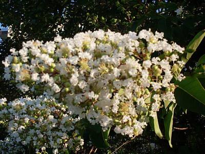 White Crape Myrtle Flower Art Print by Warren Thompson