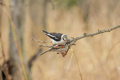 Photograph - White-crested Helmetshrike by Petrus Bester