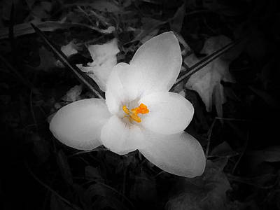 White Crocus - Edit Art Print