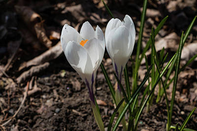 Photograph - White Crocus In Bloom by Jeff Severson