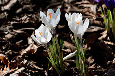 Photograph - White Crocus In Spring by Jeff Severson