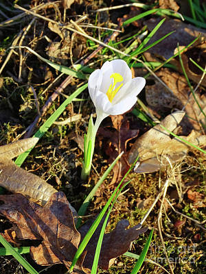 Photograph - White Crocus by Jasna Dragun