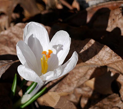 Photograph - White Crocus by Richard Reeve