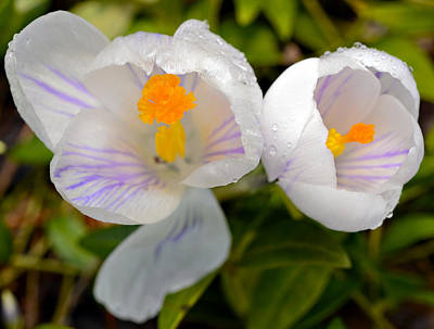 Photograph - White Crocus by Susan Leggett