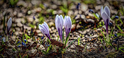 Photograph - White Crocuses #g2 by Leif Sohlman