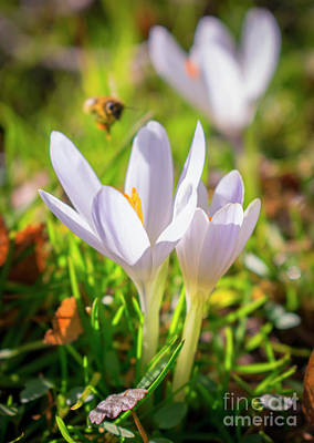Photograph - White Crocuses by Nina Ficur Feenan
