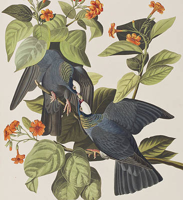 Pigeon Painting - White Crowned Pigeon by John James Audubon