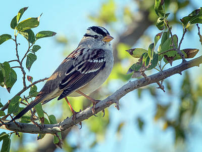 Photograph - White-crowned Sparrow 0033-111017-1cr by Tam Ryan