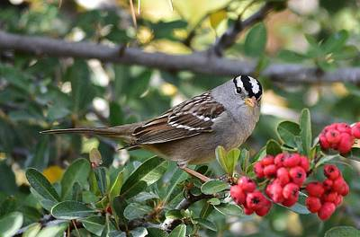 Birds Rights Managed Images - White Crowned Sparrow 1 Royalty-Free Image by Linda Brody