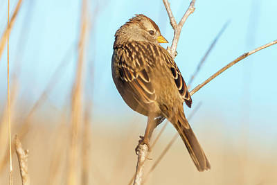 Photograph - White-crowned Sparrow 2 by Jonathan Nguyen