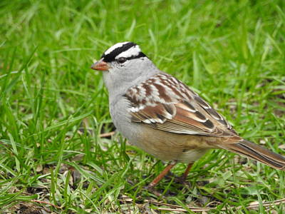 Photograph - White Crowned Sparrow by Betty-Anne McDonald