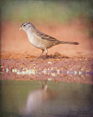 Photograph - White-crowned Sparrow - 6128,st by Wally Hampton