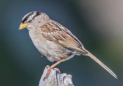 White-crowned Sparrow Art Print by Carl Olsen