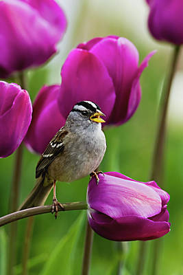 Photograph - White Crowned Sparrow by Craig Strand