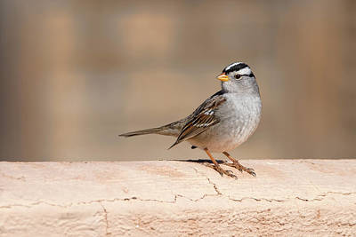 Photograph - White Crowned Sparrow by Dan McManus