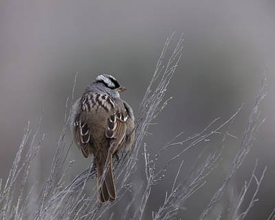Photograph - White-crowned Sparrow by David Watkins