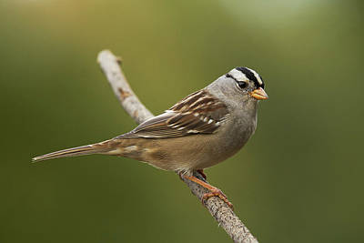 Photograph - White-crowned Sparrow by Doug Herr