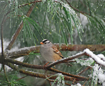 Photograph - White-crowned Sparrow In The Snow by Kerri Farley