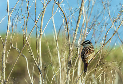 Photograph - White Crowned Sparrow by Jonathan Nguyen