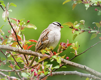 Photograph - White-crowned Sparrow by Kristin Hatt