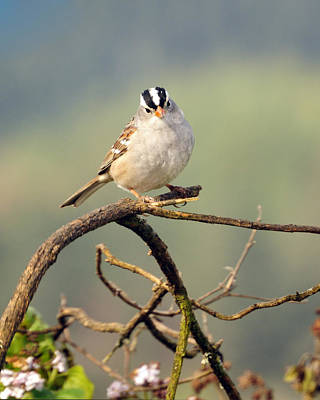 White Crowned Sparrow Art Print by Laura Mountainspring