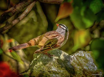 Photograph - White Crowned Sparrow by LeeAnn McLaneGoetz McLaneGoetzStudioLLCcom