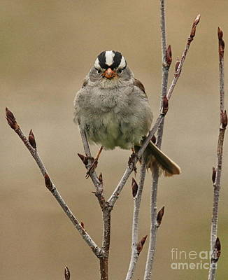Photograph - White-crowned Sparrow by Myrna Bradshaw