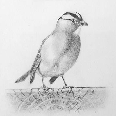 Susan Conner Drawing - White-crowned Sparrow by Susan Conner