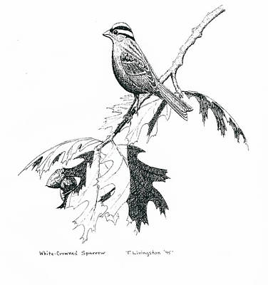 Drawing - White Crowned Sparrow by Timothy Livingston
