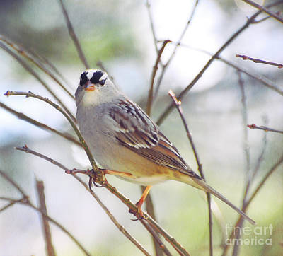 Photograph - White-crowned Sparrow Watching Me by Kerri Farley