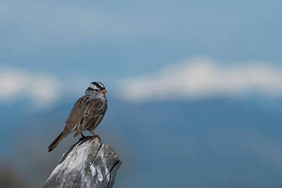 Photograph - White-crowned Sparrow With Mountain Backdrop by Cascade Colors